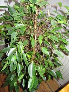 Mayas ganzer Stolz - der Ficus, der es mit mir aushält!